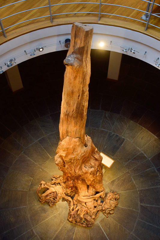 5,000 year old tree preserved in the Ceide (bog) Fields at Ballycastle