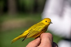 Yellow Warbler being banded