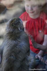 Snow monkey watching young boy