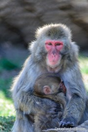 Snow monkey holding baby Snow monkey
