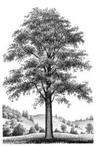 Do what you can to protect walnut trees!