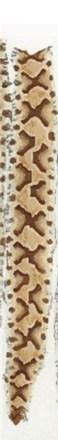 A copperhead snake skin