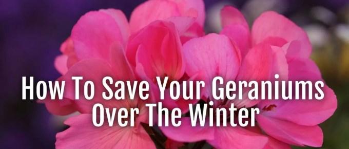 save geranium over winter