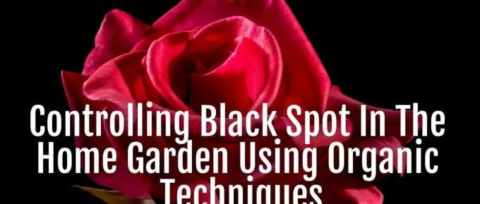 controlling black spot