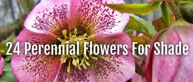 24 perennials shade