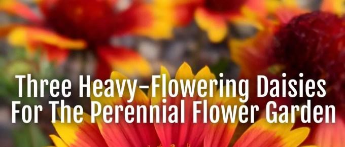 heavy flowering daisies