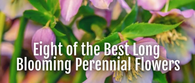 long blooming perennial