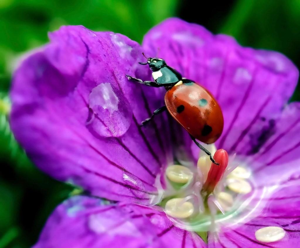 ladybug beete