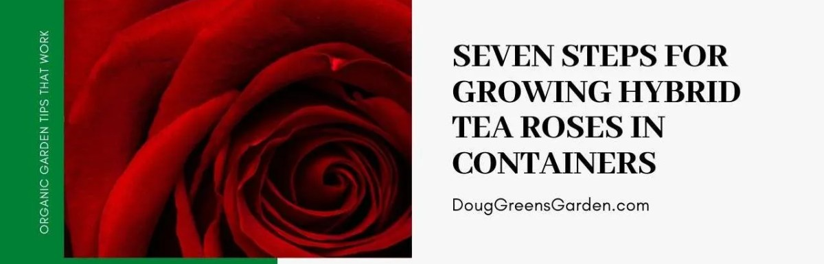hybrid tea roses in containers