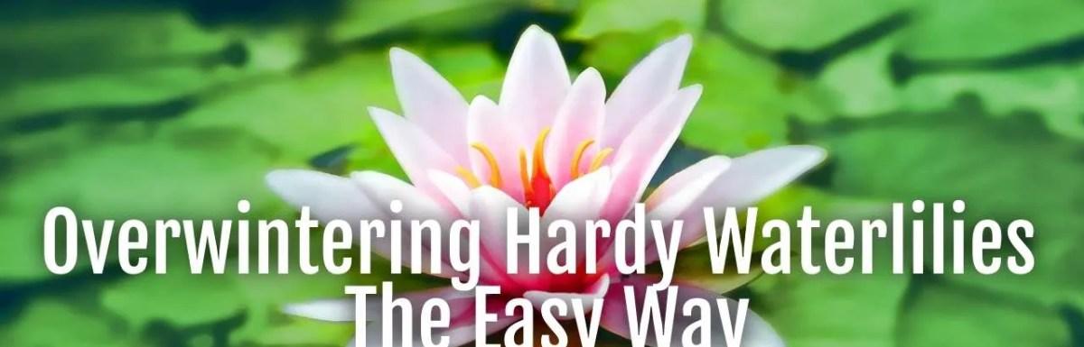 overwintering hardy waterlilies
