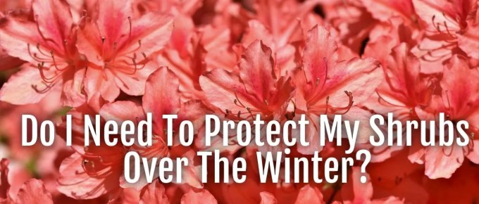 protect shrubs overwinter