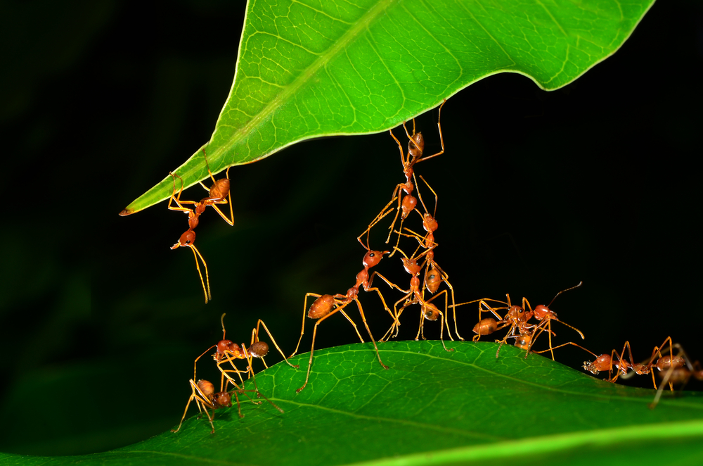 Going Global: Argentine Ants Show the Way