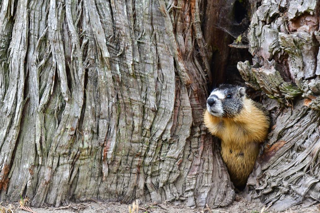 West Coast Yellow-Bellied Marmots