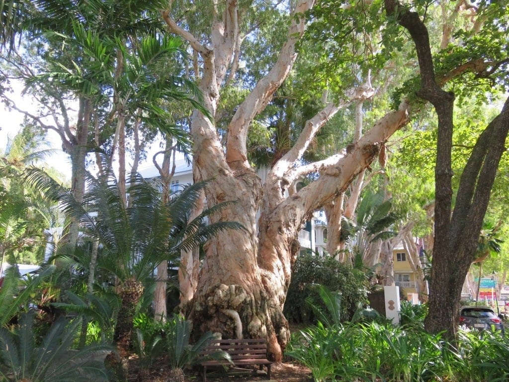 Veteran 400 year old Melaleuca tree, Palm Cove, Cairns
