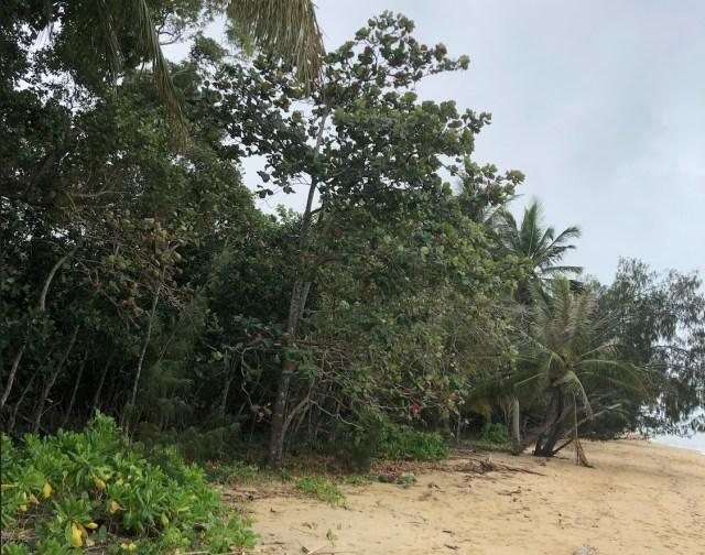 Regenerating littoral forest at Wonga Beach