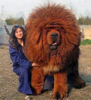 Now that's what I call a dog. A Tibetan mastiff, to be precise. Not a show poodle. Let's name him Reformation.
