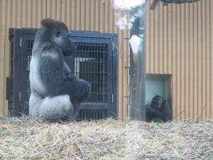 京都市動物園ゴリラ