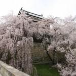 上田城跡公園千本桜まつり