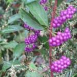 秋 紫 小粒