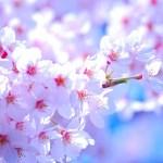 新宿御苑 桜の種類