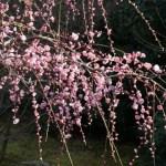 城南宮しだれ梅と椿まつり