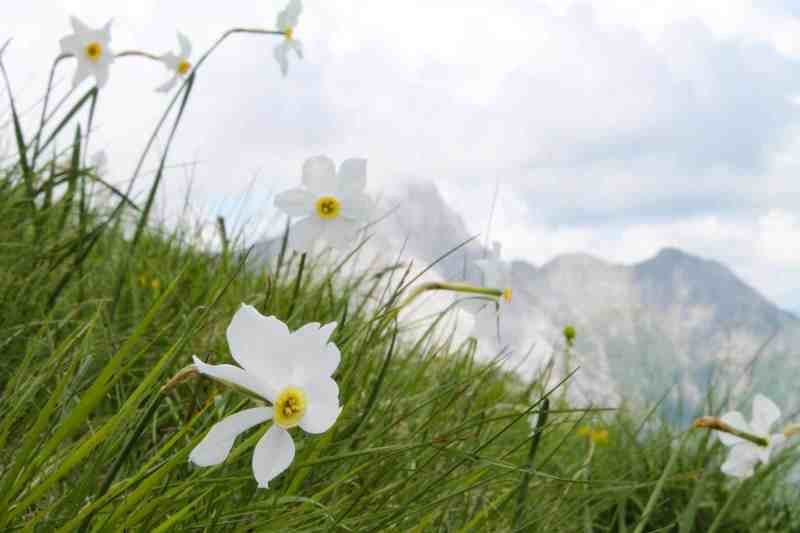 fioritura delle Giunchiglie e le Panie