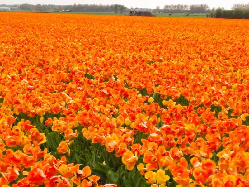 tulipani lisse