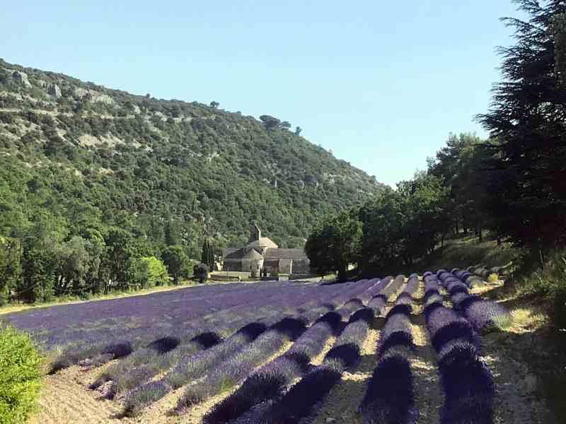 Senanque Lavender