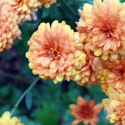 Grow Great Chrystanthemums