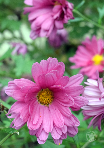 Propagate chrysanthemums