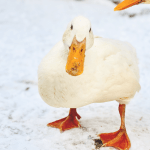 Caring for ducks in winter