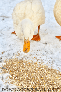 Duck eating