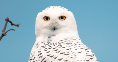 Snowy Owl, Down East Magazine