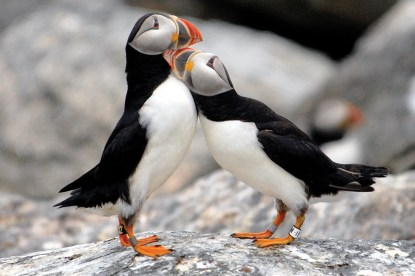 two puffins cuddling