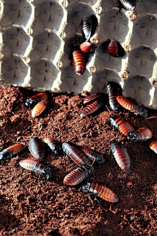 Red Centipede