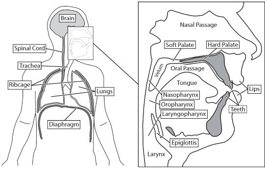 diagrams upper trachea and larynx
