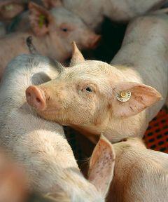 Comment S Appelle Le Petit Du Cochon : comment, appelle, petit, cochon, Cochon, Vikidia,, L'encyclopédie