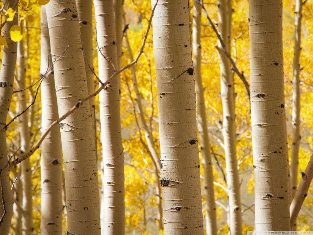 Fall Birch Tree Wallpaper Birke Tapete