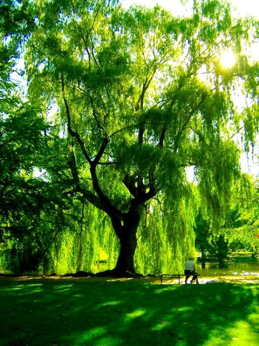 Cute Live Wallpaper Download For Mobile Weeping Willow Trees Wallpaper Downloadwallpaper Org