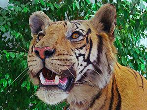 Panthera tigris, Felidae, Royal Bengal tiger; ...