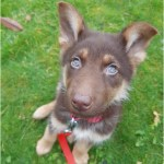 Liver German Shepherd Puppies For Sale Near Me