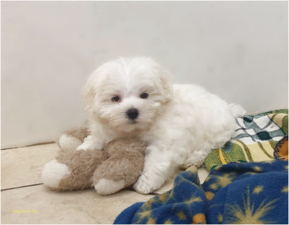 maltese puppies for sale near me 2018