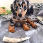 Miniature Long Haired Dapple Dachshund Puppies For Sale In Nc