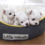Teacup Maltese Puppies For Sale Under 200