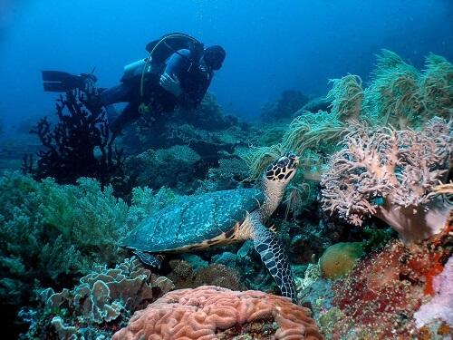 Duiken met Zeeschildpad - Apo Island, Negros Oriental, Central Visayas, Filipijnen