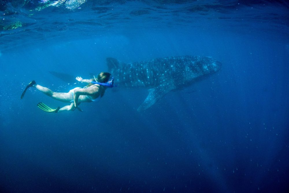 Swimming-with-a-Whale-Shark