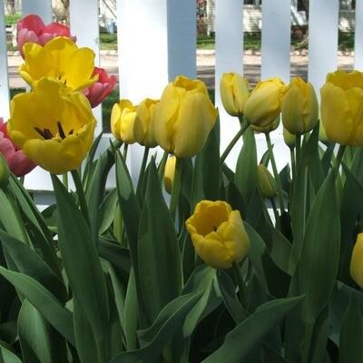 Yellow Tulips (25 bulbs)