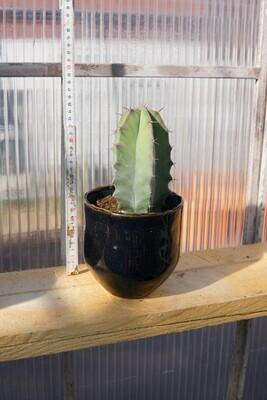Kaktus | Cereus peruvianus