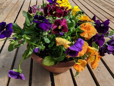 Happy Pansy Colorbowls 12