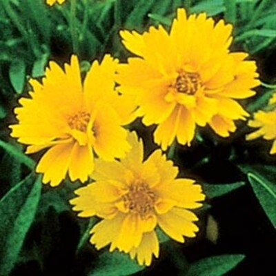 Coreopsis Early Sunrise - 4